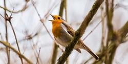 Fågel som sjunger.