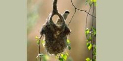 Pungmesens bo ser ut som en vante. Pungmesen är den enda europeiska fågel som bygger fritt hängande bon.